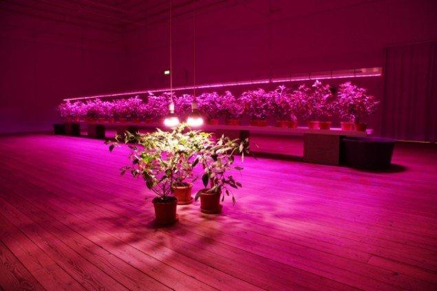Nye dyrnings-metoder: Chili dyrkes under farvet lys. Foto: Søren Dahlgaard.
