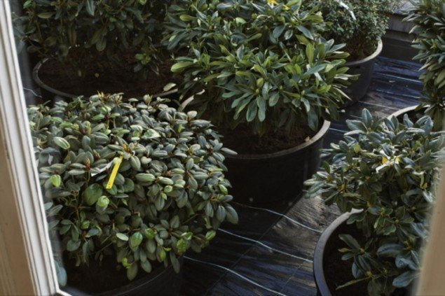 Rhododendron Discolor, R. Fargesii, R. Sutchenense, R. Souliei, R Ramosissium, R. Cillicalys, R. Fasstigiatum, 2009. Pressefoto.