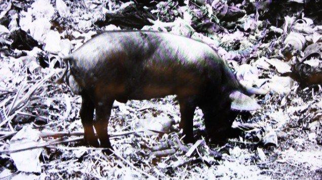 Jeannette Ehlers, Black Pig, 2012. Pressefoto