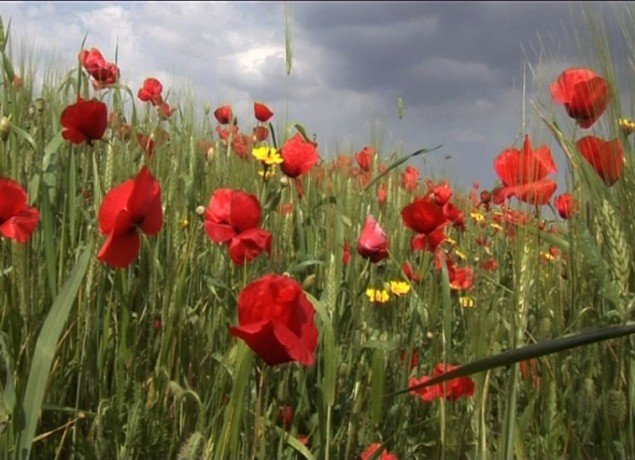 Red Poppies, 2006, videoinstallation. Pressefoto.