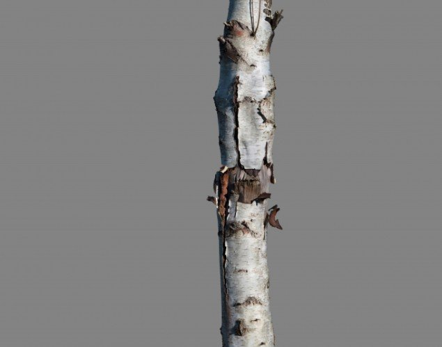 Morteb Barker: Betula pendula No. 2 2013, 140x110 cm, 3 mm dibond.