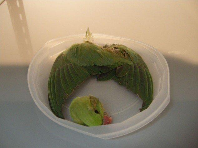 Tue Greenfort: Psittacula Krameri (Rose-ringed Parakeet), 2011, fundet i Köln. (Foto: Matthias Hvass Borello)