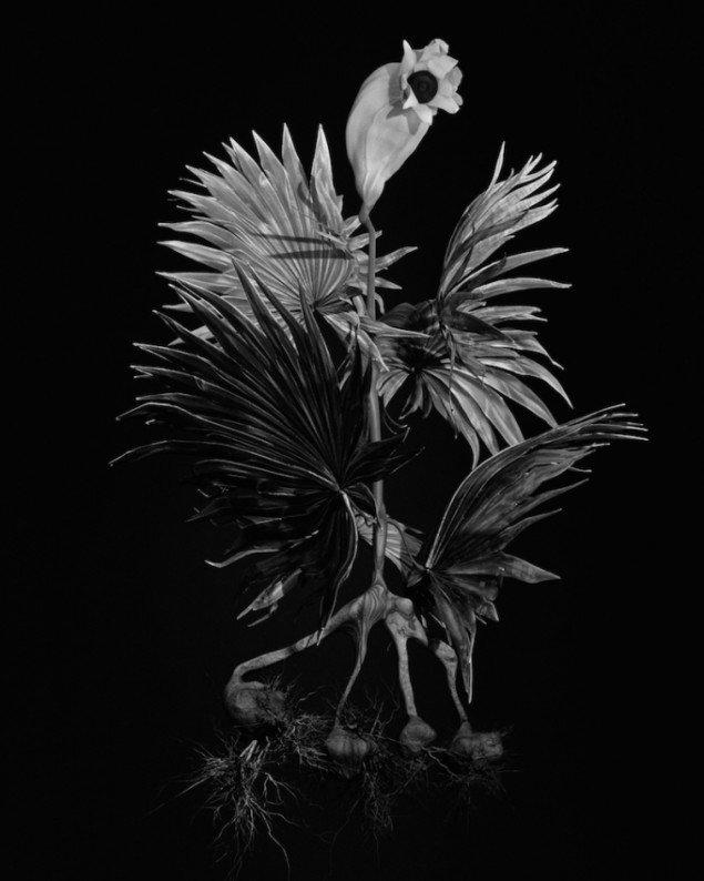 Ulrik Heltoft & Miljohn Ruperto: Voynich Botanical Studies, Specimen #56v Jaro, 2013