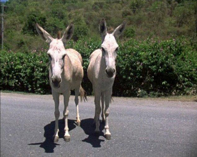 Amatøretnografisk undersøgelse af vestindiske æsler. Nanna Debois Buhl, Donkey Studies, 2008. Foto: Nanna Debois Buhl.